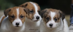 Chiots Jack Russell (5 semaines) à l'élevage of Mayo Land