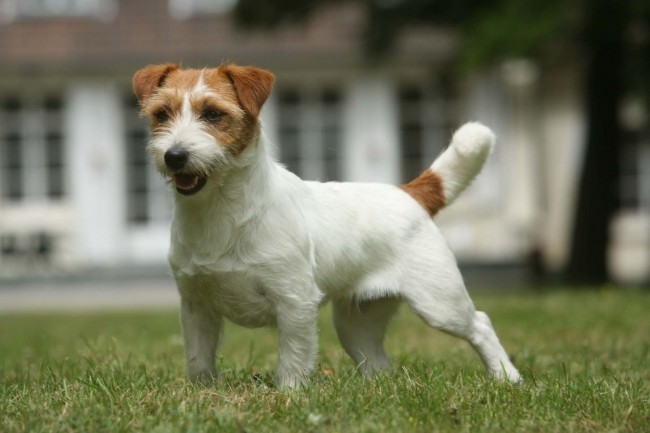 La multi championne Vaya of Mayo Land : Champion jeune du Luxembourg, Bundessiegerin06, Belgian Winner06, Champion Portugal06, Luxembourg06, Vice European winner in Helsinki06Champion International de Beauté, Champion de France08, Belgique09, Champion International d'Exposition09,  Top Jack russell France07 et 2008, …