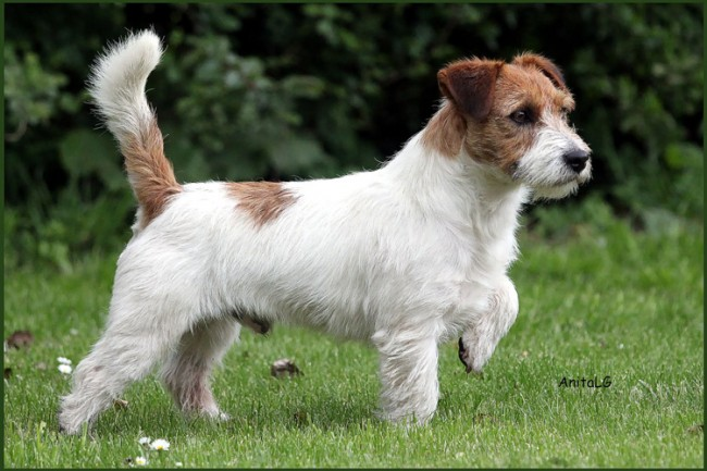 Multi Ch. Gabin of Mayo Land Jack Russell