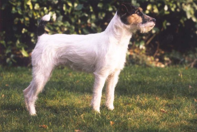 Maskotte of Mayo Land, Parson Russell Terrier