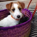 jack russell shopping